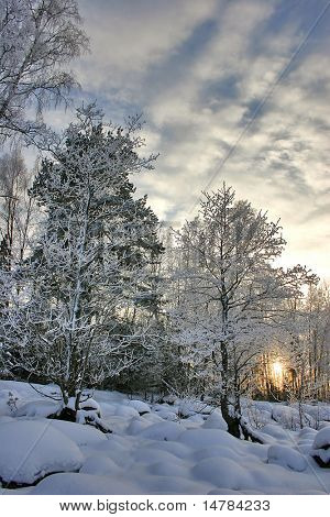 winter sunset in the snow birch forest