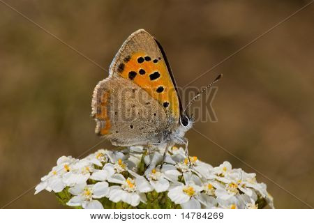 azure butterfly is sitting on white flowers