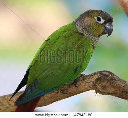 head and body of Green-cheeked Conure perching on a branch, Songkhla, Thailand