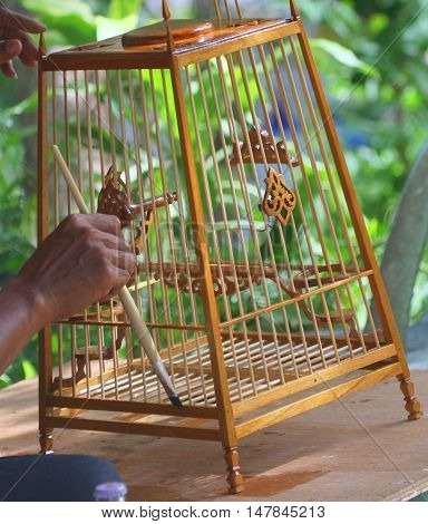 Thai craftsman hands seen varnishing handmade wooden bird cage for Red-Whiskered Bulbuls, Songkhla, Thailand