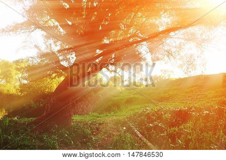 Sunny autumn landscape in the autumn forest with evening sunlight breaking through the branches of old curved tree. Autumn sunset landscape. Autumn forest sunset landscape with autumn yellowed tree