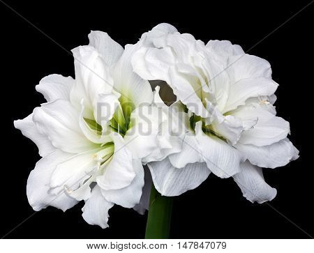 Hippeastrum double flowering Alfresco isolated on black background