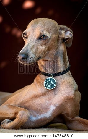 The portrait of a dog of breed the Italian Greyhound of brown color who lies and watches forward on a neck a medal with osheynok