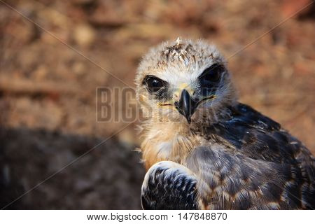 Portrait of a young falcon bird with blurred background