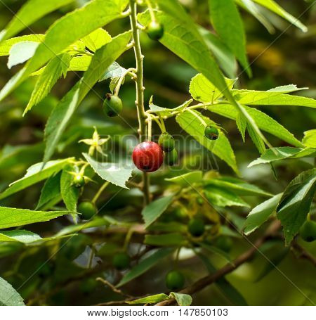 Takhop pak (thai name) Governor's plum (Flacourtia indica (Burm.f.) Merr.) place on old wooden