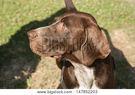 close up of brown head of dog watching intently during training session.