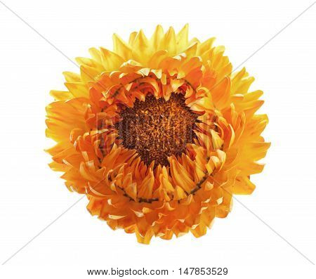 Helichrysum flowers or immortelle isolated on white background.