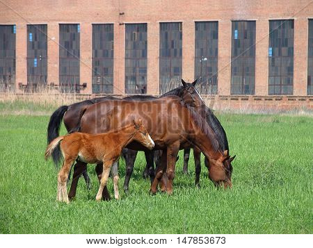Group of brown adult horses and foal feeding on a green meadow not far from the farm in front of brick building