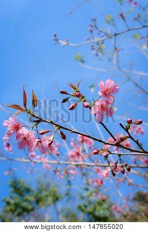 Wild himalayan cherry (prunus cerasoides) blooming at Chiangmai Thailand.