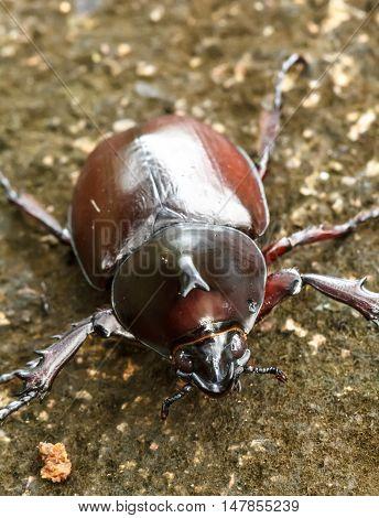 Rhinoceros beetle (Allomyrina dithotomus) with nice background