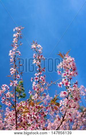 Wild himalayan cherry (prunus cerasoides) at Chiangmai Thailand. background sky