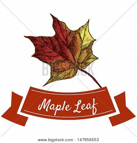 Maple leaf illustration. Vector colorful illustration of maple leaf.