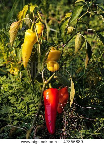 Bush of red hot pepper in a kitchen garden