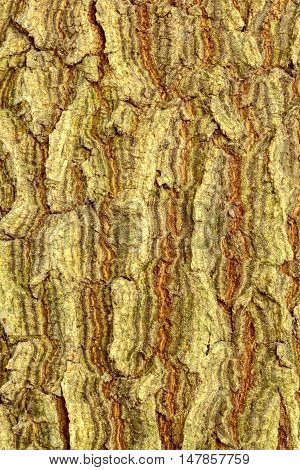 Surface of the bark of the tamarind Thailand.