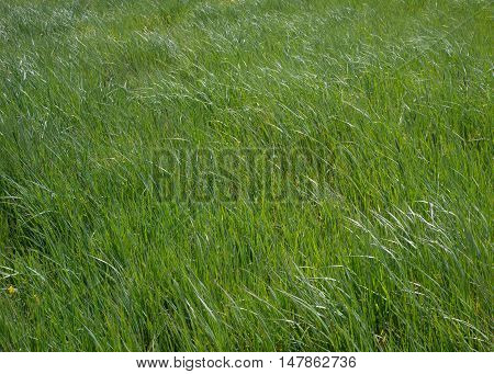 Green meadow. Grass is leaning in the wind.