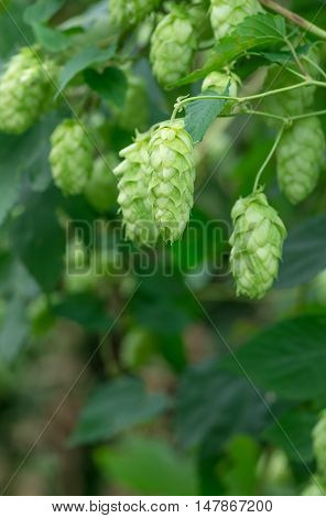 Growing on the branch cones green hops grown for brewing beer and bread as well as a seasoning for food