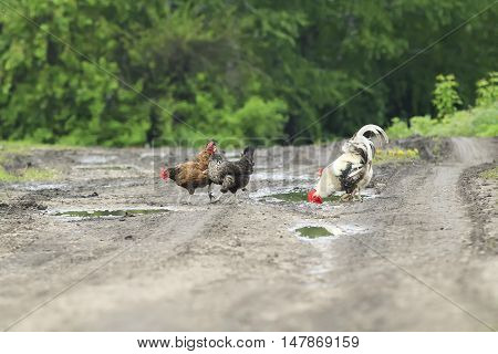 chickens and roosters crossing the wet road