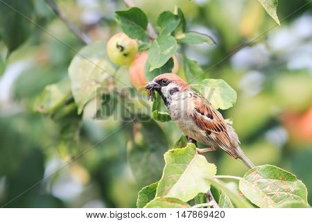 bird Sparrow sitting on a branch with red apples and holding in its beak insects