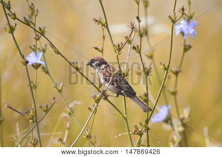 bird Sparrow sitting in the meadow among the flowers of chicory with insects in beak