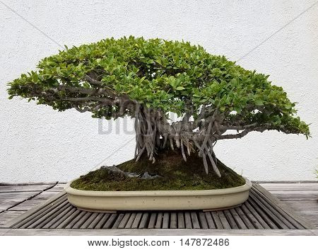 Detailed Bonsai and Penjing landscape with miniature banyan tree in a tray