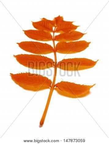 Autumn Rowan Leaves