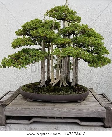 Bonsai and Penjing landscape with miniature forest of pine trees in a tray