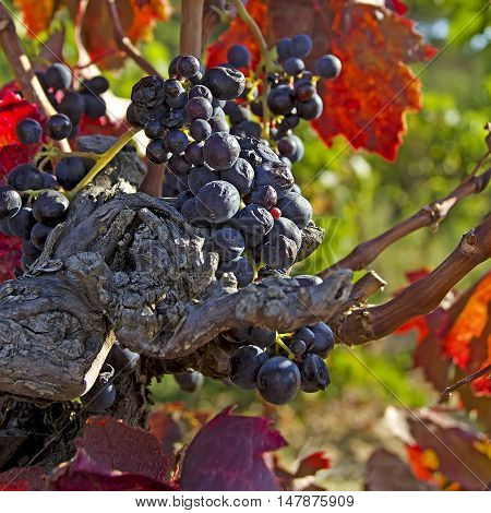 ripe wine in the languedoc in south france