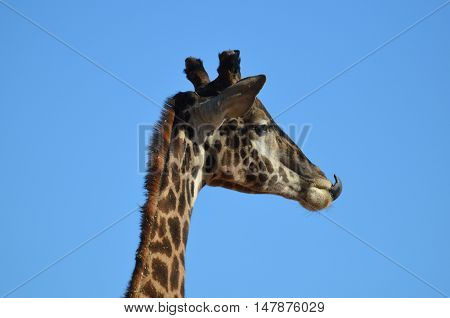 Giraffe stretching his tongue to lick the tip of his nose.