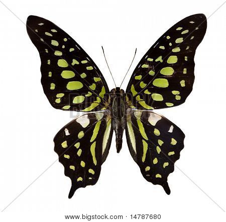 tropical black and green butterfly isolated on white background