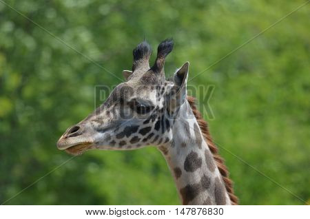 Great side profile of a giraffe in the wild