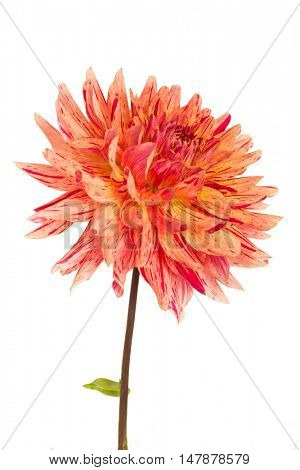 Cactus dahlia from the home garden on a white background.