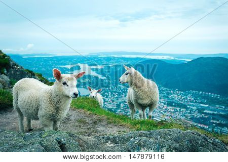 Herd of sheep grazing on mountain meadow in Bergen Norway