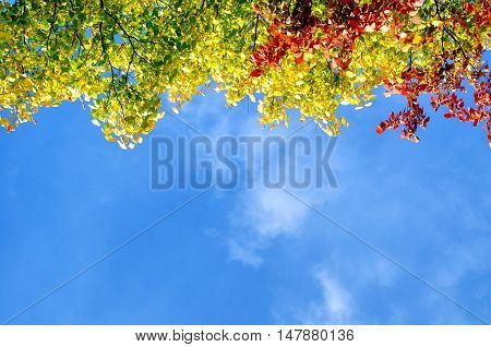 Colorful red yellow and green autumn leaves of tree autumn branch against the blue sunny sky with free space for text - autumn background