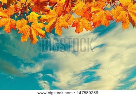 Autumn view - autumn nature background with space for text- orange autumn maple leaves against sunset sky. Autumn background with maple autumn leaves and sunny blue sky -autumn nature in vintage tones