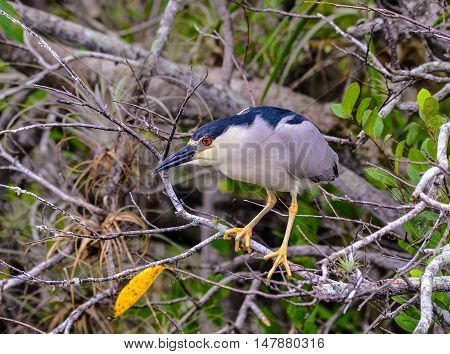Yellow-crowned Night Heron (Nyctanassa violacea) in mangrove of Florida Everglades.