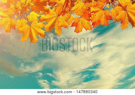 Autumn nature background with space for text- orange autumn maple leaves against sunset sky. Autumn background with maple autumn leaves and sunny blue sky -autumn nature in vintage tones