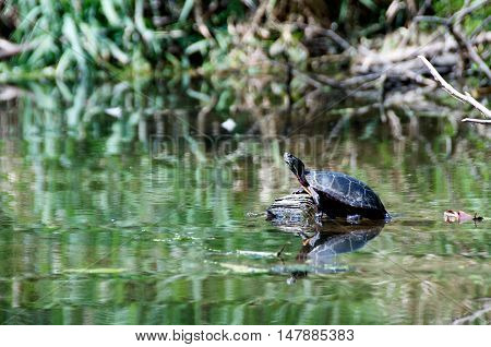 Midland Painted Turtle (water turtle) sunning itself on a log in Ohio's Cuyahoga River, side-view with up stretched head, shot from a level angle.