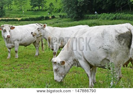 Ry France - june 23 2016 : cow in a meadow