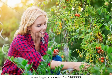 Beautiful young woman in checked red shirt harvesting tomatoes, sunny autumn