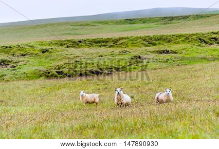 Three sheep on a pasture in Iceland