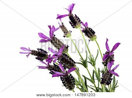 Purple French Lavender Flowers On Green Stems