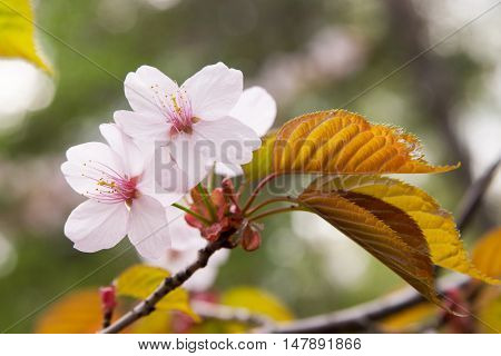 Flowering plum tree in forest in summer