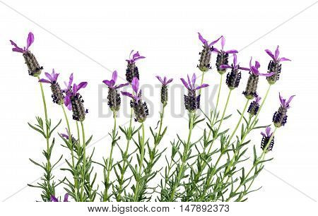 Row Of Purple French Lavender Flowers On Stems