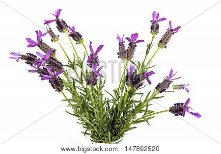 Bunch Of Purple Lavender Flowers With Green Leaves