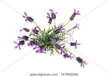 Top View Of Purple And Green Lavender