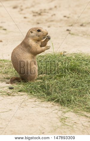 A grass eating North American Prairie dog Cynomys standing on his hind legs
