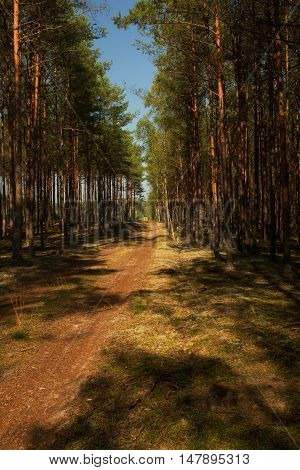 Forest sandy road among the pines and spruces in the Bory Tucholskie National Park in summer under blue sky. Interesting landscape.Poland.Vertical view