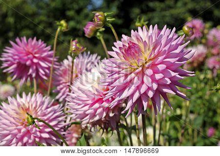 Pale magenta dahlia flower in the garden park