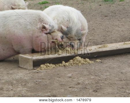 Two Pigs Eating