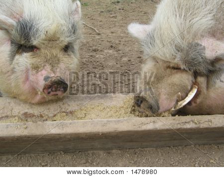 Two Pigs Eating 2